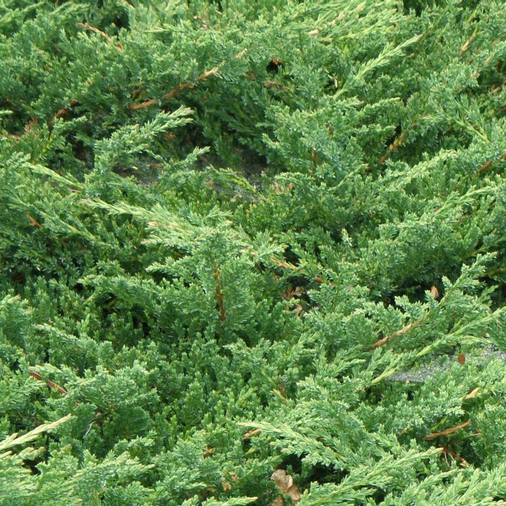 Jałowiec Pospolity 'Green Carpet' (Juniperus Communis