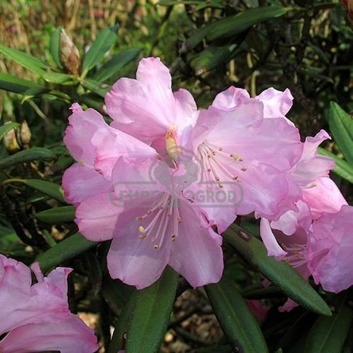 r anecznik 39 roseum elegans 39 rhododendron 39 roseum. Black Bedroom Furniture Sets. Home Design Ideas