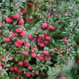 Irgi (Cotoneaster)